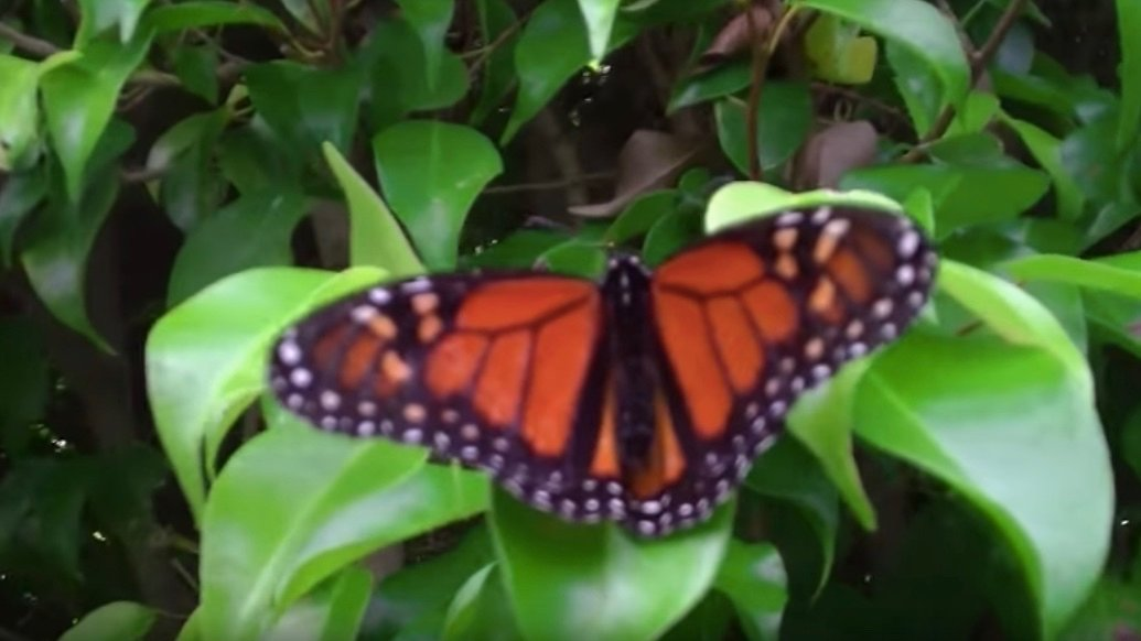 Butterfly in West Lynn Garden